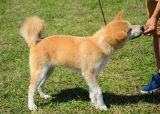 Akita hund Arkivbilder