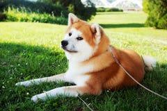 Akita hund som ner ligger Royaltyfria Foton