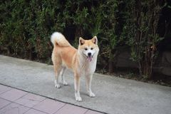 Akita-Hundeaufstellung lizenzfreies stockfoto