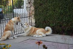 Akita hundkapplöpningpar arkivfoton