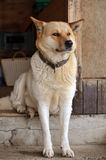 Akita Inu 1 Royalty Free Stock Images