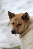 Akita Inu 2 Royalty Free Stock Images