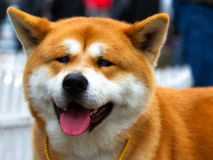Akita Inu. A gorgeous Akita Inu at a canine beauty competition royalty free stock photo