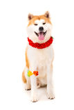 Akita Inu Imagem de Stock Royalty Free