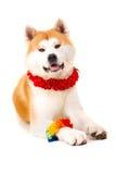 Akita Inu Fotografia de Stock Royalty Free