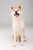 Akita Inu. Beautiful Akita Inu dog posing in studio royalty free stock photos