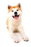 Akita Inu. Beautiful Akita Inu dog posing in studio royalty free stock photo
