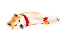 Akita Inu Royalty Free Stock Photos