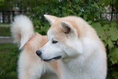 Akita inu close up. Akita ken or japanese akita. Pet animals stock image