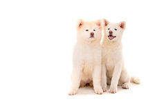 Akita Inu Royalty Free Stock Images