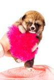 Akita-Inu, de hondpuppy van akitainu Stock Foto's