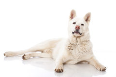 Akita inu dog Royalty Free Stock Photography