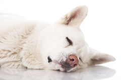 Akita inu dog Royalty Free Stock Photo