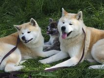 Akita inu dog. Against the background of green grass royalty free stock image