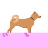 Akita Inu - dog asian breed Stock Photos