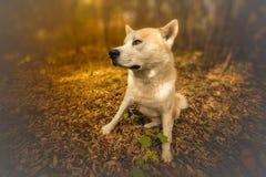 Akita inu dog Stock Image
