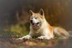 Akita inu dog Royalty Free Stock Photography