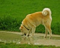 Akita Inu Dog Drinks Water. Akita Inu, rare dog'd breed, drinking water at the promenade stock photography