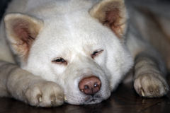 Akita Inu - Dog Stock Photography