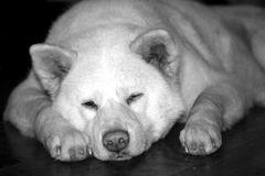 Akita Inu - Dog Stock Images