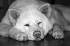 Akita Inu - Dog Royalty Free Stock Photo