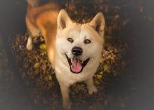Akita Inu dog. Looking up stock photography
