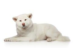 Akita inu dog lying on white background Royalty Free Stock Image