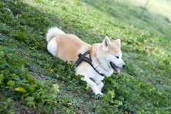 Akita inu dog. At the park royalty free stock photo