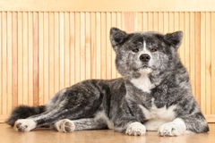 Akita Inu dog portrait Stock Photography