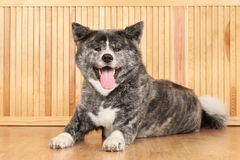 Akita Inu dog portrait Stock Photos