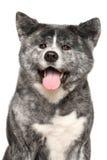 Akita Inu dog portrait stock image