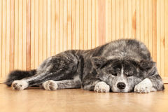 Akita Inu dog portrait Royalty Free Stock Photography