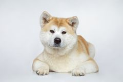 Akita inu dog portrait royalty free stock photo