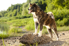 Akita inu dog portrait Royalty Free Stock Image