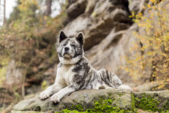 Akita inu dog portrait Stock Images