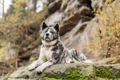 Akita inu dog portrait Stock Images