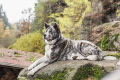 Akita inu dog portrait Stock Photography