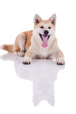 Akita inu dog portrait on white background Royalty Free Stock Image