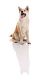Akita inu dog portrait on white background Stock Image