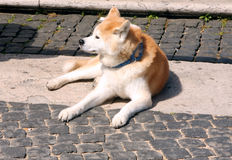 Akita Inu Dog. Red white Hair Akita Inu dog stock photos