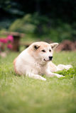 Akita Inu dog relaxing on green grass outdoors Stock Image