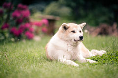 Akita Inu dog relaxing on green grass outdoors Royalty Free Stock Photos