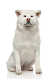 Akita inu dog on white background. Akita inu dog sits on a white background Royalty Free Stock Image