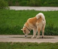 Akita Inu Drinking Water. Akita Inu Japanese dog drinking water at the promenade path Stock Image