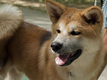 Akita Inu female Stock Photography