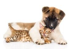 Akita-inu Hündchen mit Bengal-Katze zusammen Auf Weiß Lizenzfreie Stockfotos
