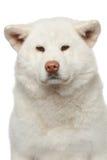 Akita inu Hund. Nahaufnahmeportrait Lizenzfreies Stockfoto