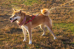 Akita inu - Japanese Dog Royalty Free Stock Photography