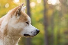 Akita inu japanese dog pedigree. Portrait Royalty Free Stock Photography