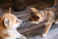 Akita inu. Japanese akita inu puppy 3 months and akita inu 1,5 years old royalty free stock photos